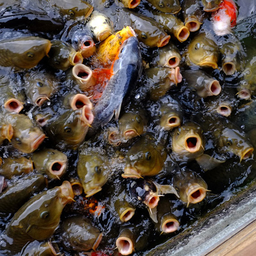 画像: しかしその鯉たちはかなりお腹が空いているようで・・・(^^;