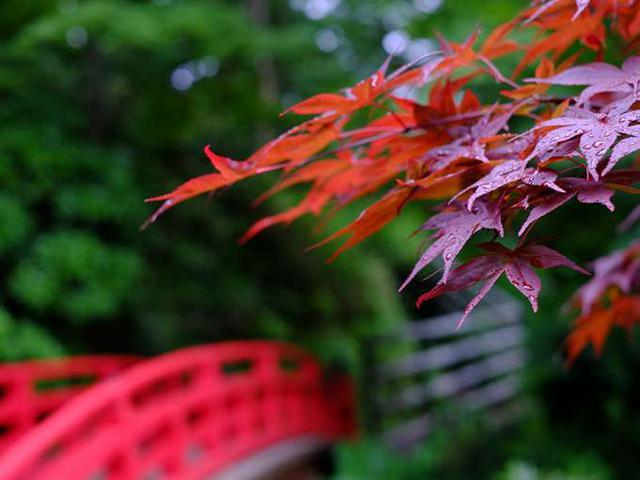 画像: 夏でも赤い「猩々もみじ」を見ていると、秋の紅葉の時期を想像してしまいますね。梅やサクラ、ツツジに紅葉、また雪景色までも楽しめる、東北地方でもその大きさを誇る大規模庭園です。
