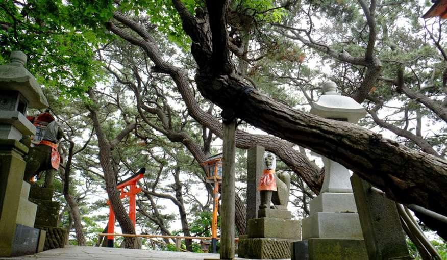 画像: 日本海から吹く強い風のため曲がった松の木。木々の間から見えるお狐さんには誰かがかぶせた手ぬぐいが。
