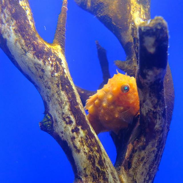 画像: ぷっくりと膨らんだオレンジカラーの癒し系。フウセンウオ。流氷の海に生息しています。