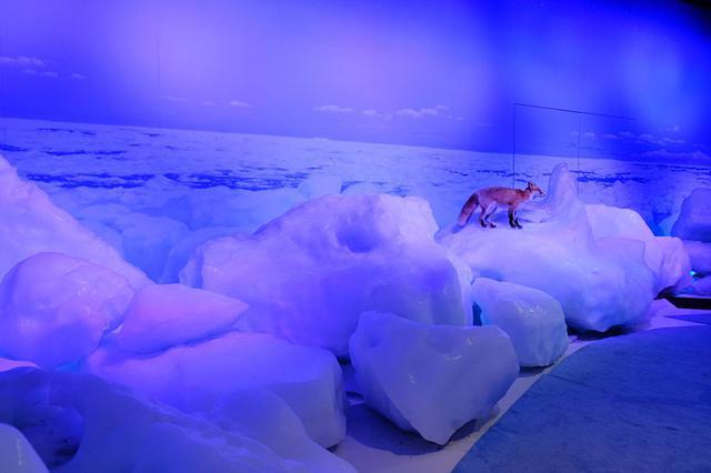 画像: こちらは本物の流氷を入れた部屋。私まで凍っちゃいそうです。今回の旅ではキタキツネには会えなかったけど、ここで会ったことにしておきます。