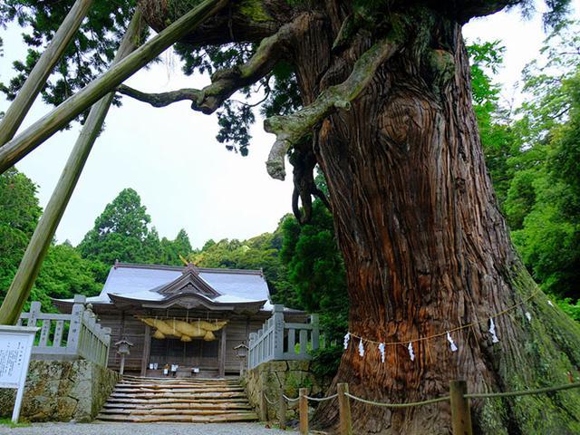 画像: はみ出る八百杉(やおすぎ)。奥は玉若酢命神社の拝殿。