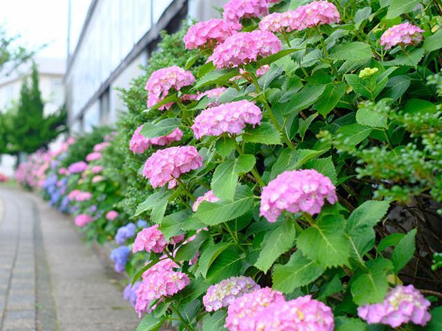 画像: 島のいたるところに植えられているあじさい。涼しい気候を持つ隠岐では長く咲き続けるそうです。東京ではすっかり満開だった季節、隠岐ではまだ全く咲いていないところもあり、季節が少し遅めでした。