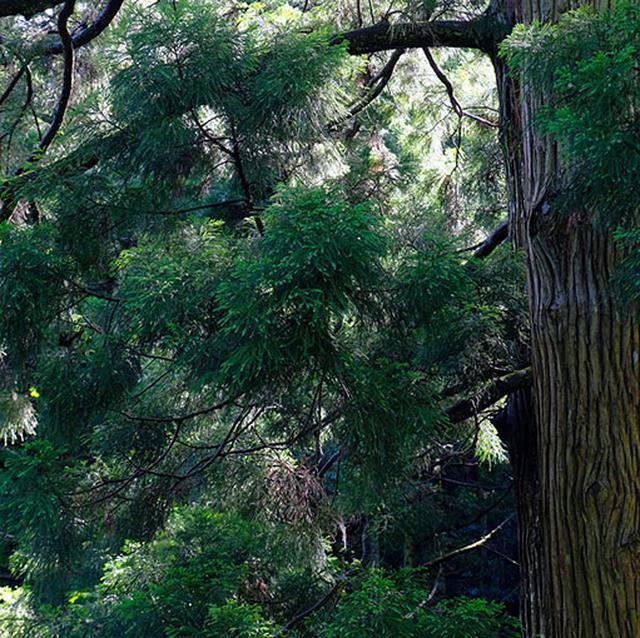 画像: かぶら杉は「ウラスギ」の一種で、枝が下向きになり積雪に耐えられるようになっているそうです。ウラスギとは日本海側(裏日本)に生育する杉のことです。