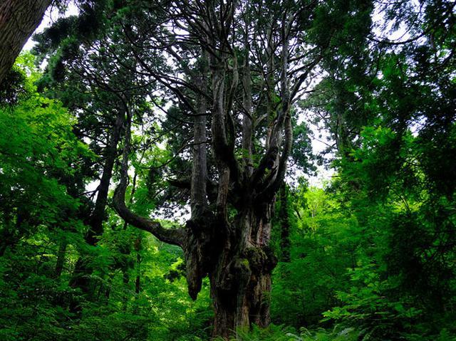 画像: 圧倒的な存在感。樹齢約800年、樹高約30メートル。神域と言わんばかりの鳥居により、崇められている杉なのです。杉では珍しいとされる「気根(鍾乳根)」と呼ばれる乳房状の根が垂れ下がっています。