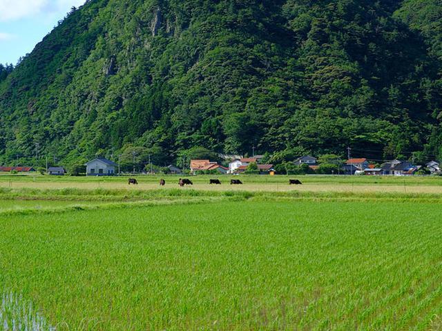 画像: こちらは肉牛?のどかな風景です。お米も良く作っていてブランド米「隠岐藻塩米」が有名です。