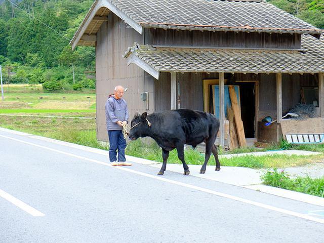 画像: 牛のお散歩は日常です。牛突き(闘牛)に使われる牛のストレス発散のため、夕方にお散歩をします。隠岐へ行くとわたしは一度は見かける光景です。