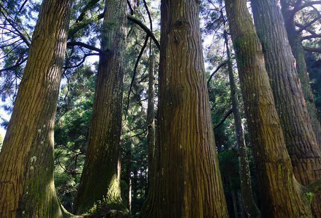 画像: 根元あたりはひとつ。しかしそこから6本の太い幹とそれ以外の細い幹が高く伸びています。樹齢は約600年。一本、一本でも十分な太さのある幹。