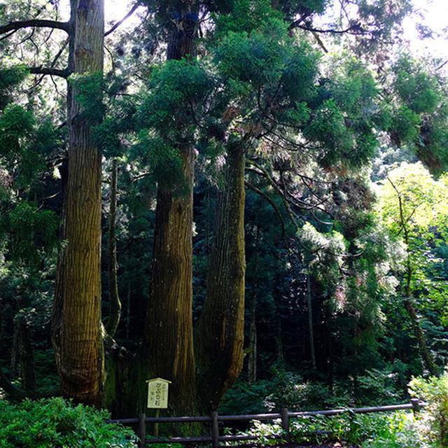 画像: 木々の中に突如として現れる「かぶら杉」。樹高約38.5メートルと言いますから、ビルにして10~11階分くらいです。