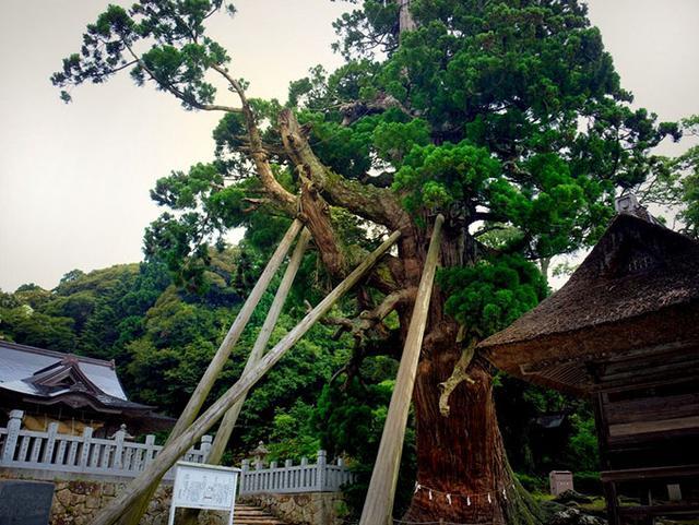 画像: 杉の巨木「八百杉」。隠岐三大杉のひとつ。太い幹の中はすっかり空洞化したおじいちゃん杉ですが、今も必死に生きています。ごつごつとした木肌を目の前にするとその生命力の強さが伝わってきて、まさに神が宿っているかのよう。