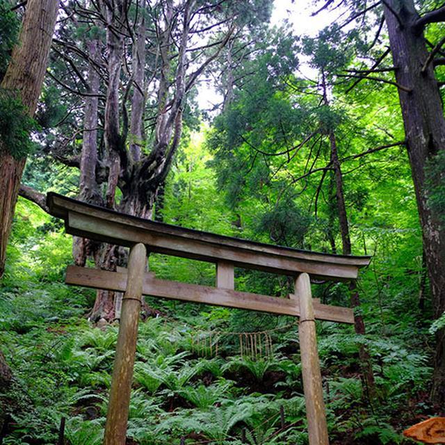 画像: 岩倉の乳房杉(ちちすぎ)。これを見るためにだけ隠岐を訪れても損はない、そんな風景に出会えます。