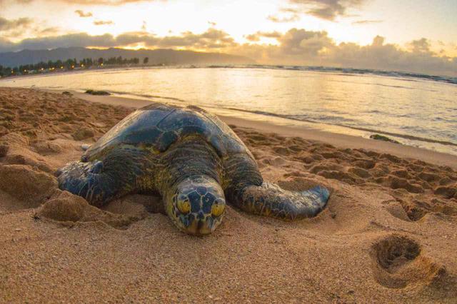 画像: ハレイワ・アリイ・ビーチ、ラニアケア・ビーチなどウミガメに出合えるビーチが点在