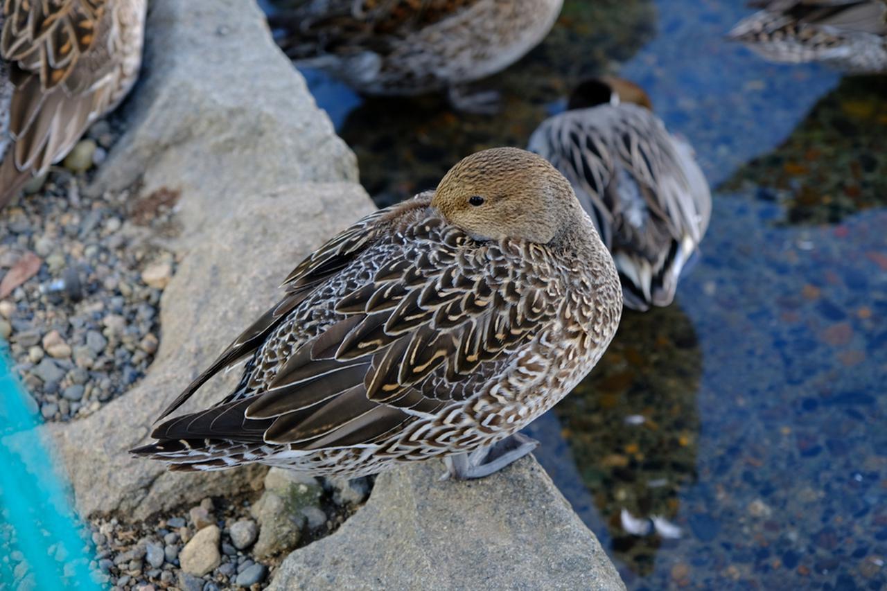画像: 鴨はマガモやカルガモ、キンクロハジロなど十数種類が飛来すると言われています。