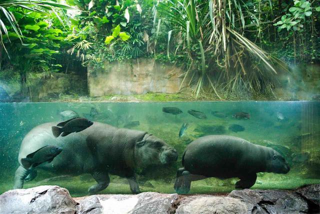 画像: シンガポール動物園は生き生きとした動物の生態を知れる Photo:Wildlife Reserves Singapore