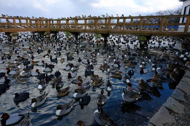 画像: 昼間は鴨がほとんどで、雪がない季節、ハクチョウは近隣の田んぼで食事をしています。夕方になると戻ってきます。