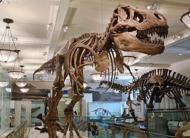 画像: 貴重なティラノサウルスの骨格標本 (c)AMNH/C. Chesek