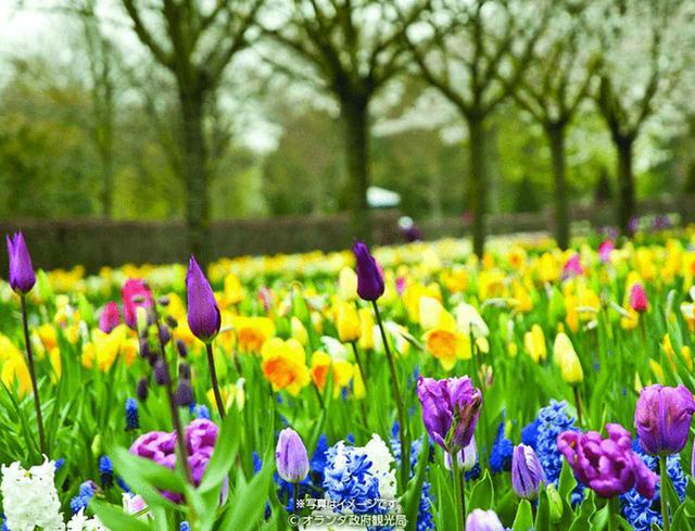 画像: チューリップのほかにも色々!花咲く、春のオランダへ。