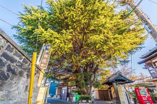 画像: 「ヒマラヤ杉」は谷中の街のシンボル