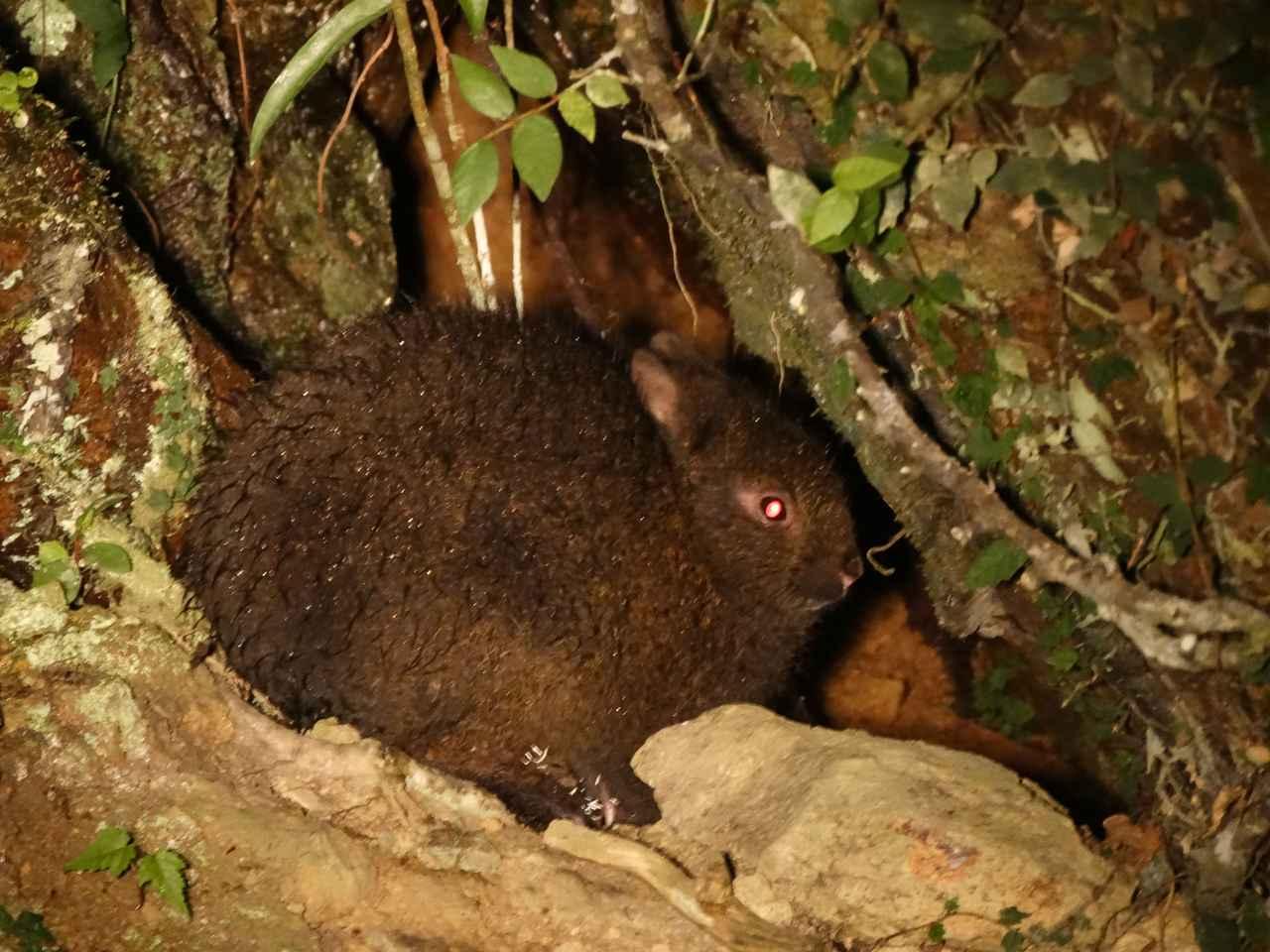 画像2: ナイトツアーで森の動物たちと出会う