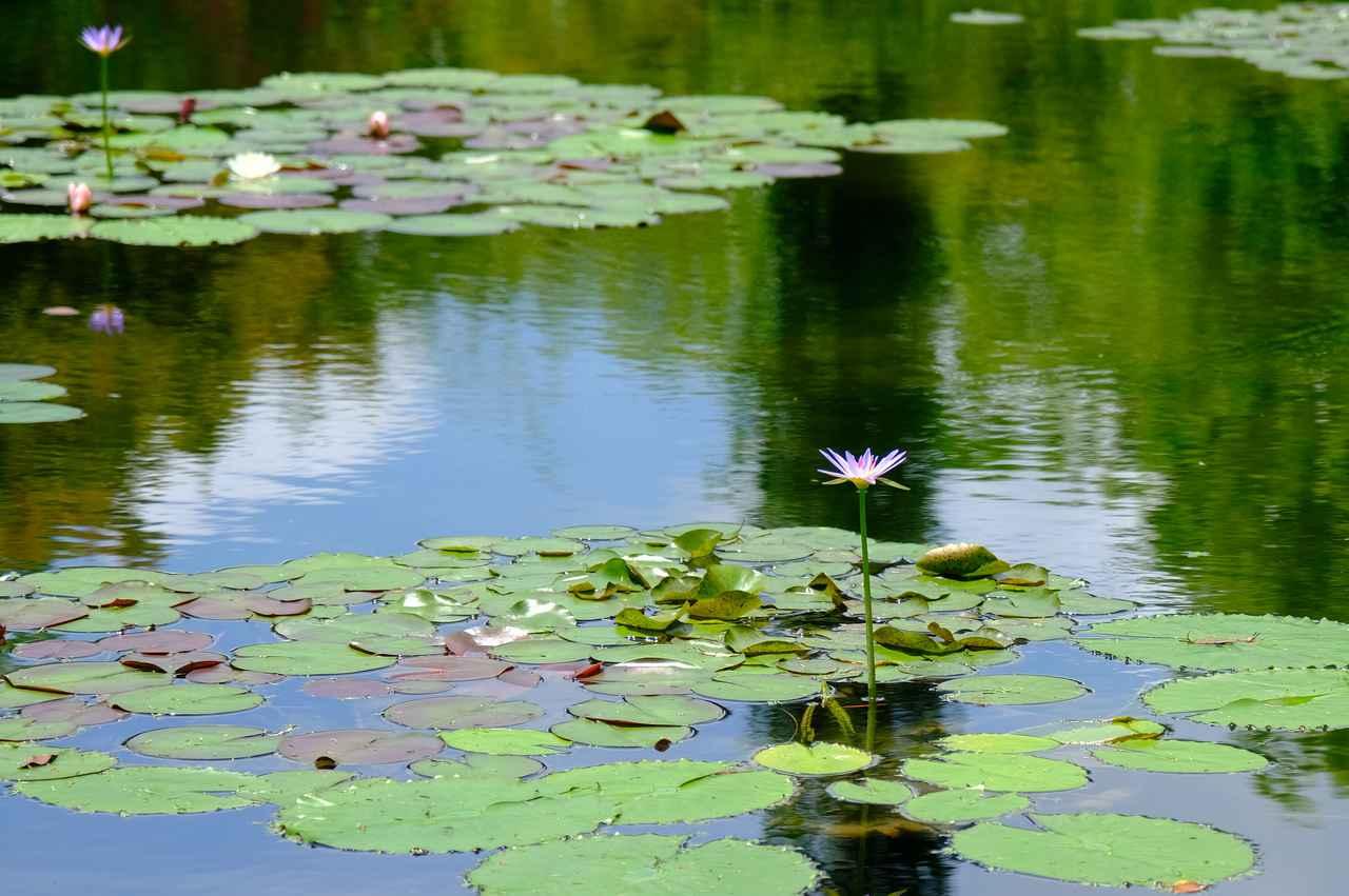 画像: 熱帯性の青い睡蓮がちょうど咲いたころ。この青い睡蓮が咲くと、高知のニュースで取り上げられるほど、みんなに待ち望まれている花です。