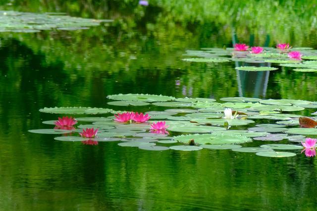 画像: 敷地内には3つの庭エリアがあります。まずはモネの代表作「睡蓮」が表現された「水の庭」。