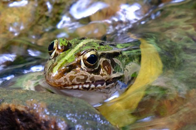 画像: これはトノサマガエルでしょうか?つやつやできれいなカエルです。