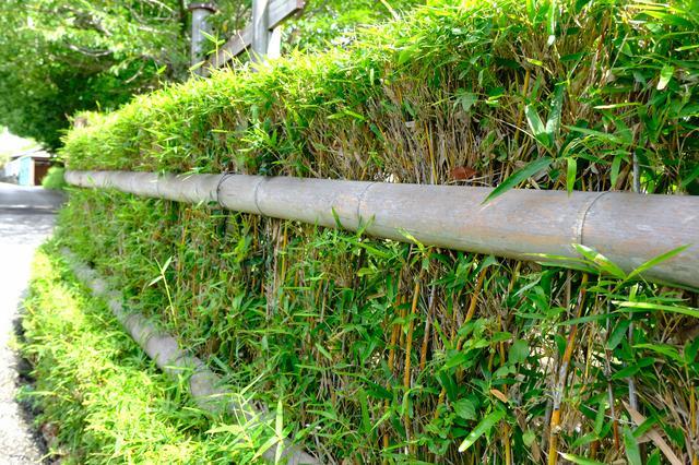 画像: 武士の家にのみ植えることを許されたといわれる「土用竹(蓬莱竹)」。弓矢の矢を作れるような硬くて細い竹です。この竹垣は武家屋敷周辺の生垣にもあり、安芸を象徴する風景のひとつともなっています。