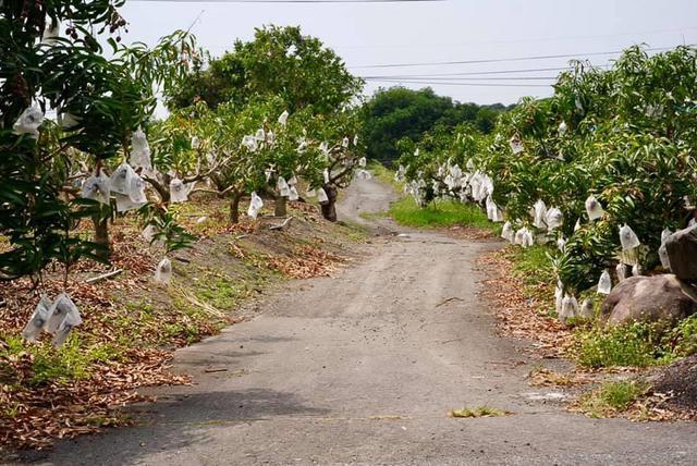 画像2: 枋山:「MangoHouse」で、台湾マンゴー発祥の地「枋山」のマンゴーを味わう