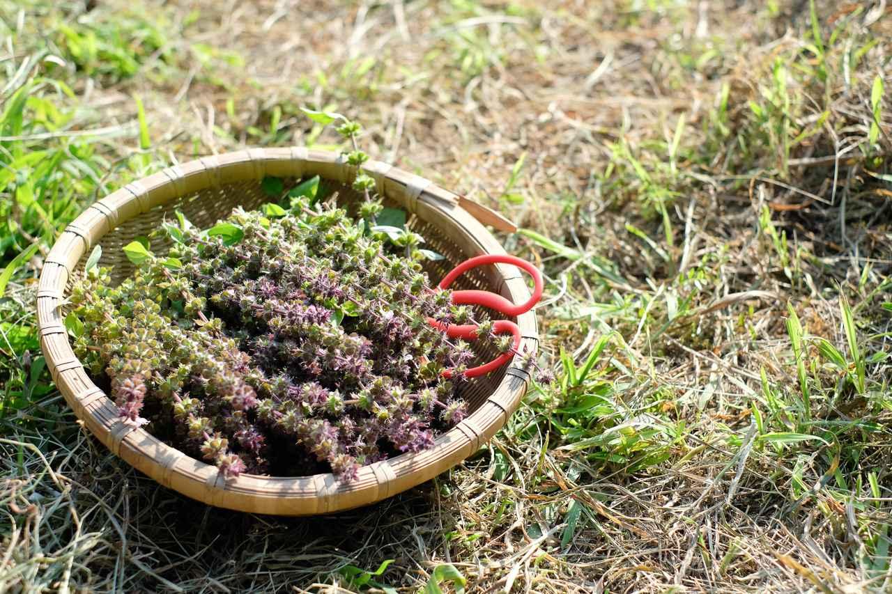 画像4: 山の麓で、ホーリーバジルの花摘みを体験