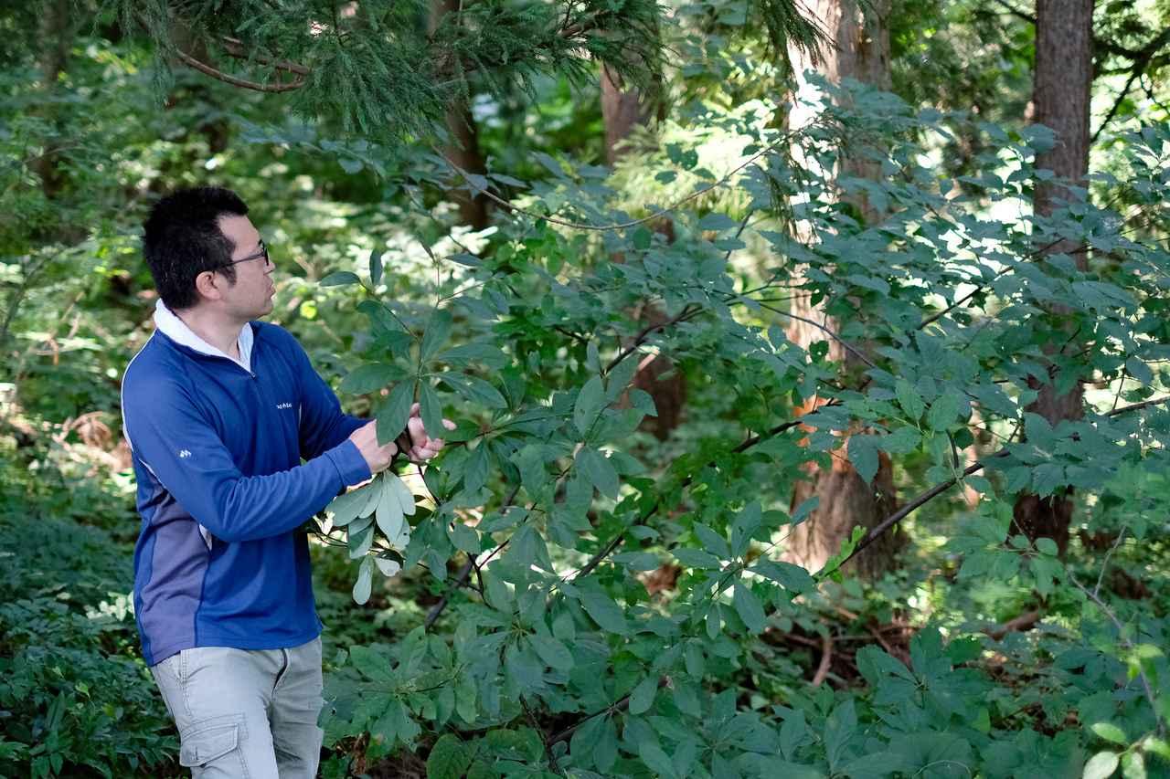 画像1: 上品な香りを持つクロモジを探しながら、やぶこざいて森を散策