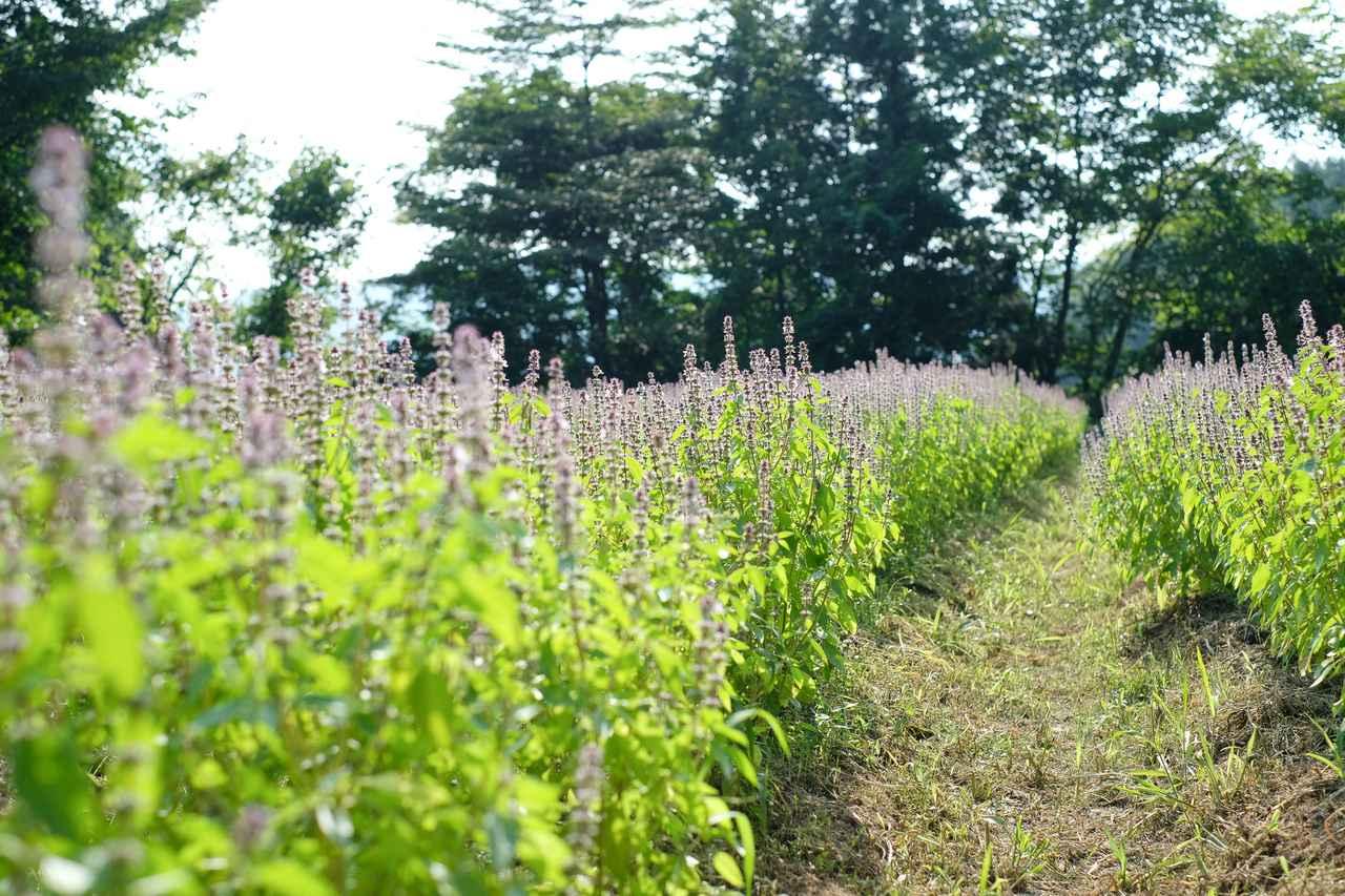 画像5: 山の麓で、ホーリーバジルの花摘みを体験