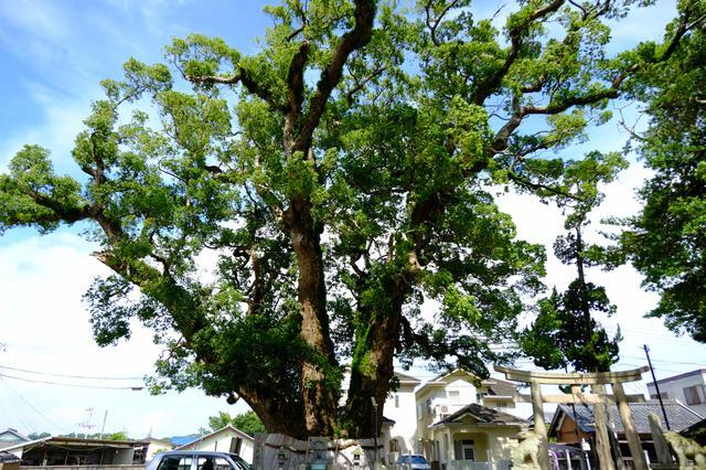 画像: 写真に収まりきらないほどの大きなくす。樹齢は800年と言われる神社のご神木です。