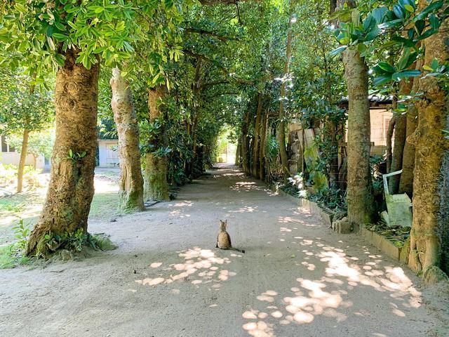 画像: 静かな時間が流れる「備瀬のフクギ並木」