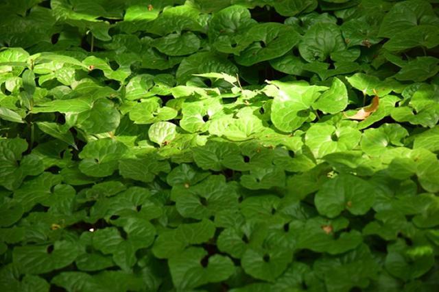 画像: 北東の社には二葉葵が群生しています
