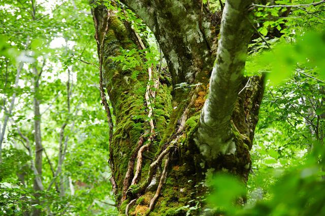 画像1: 世界自然遺産、白神山地の森に癒される。秋田の自然をめぐる旅 -県北・藤里編-