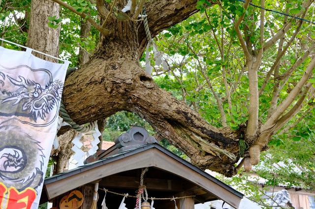 画像: 龍神様の形が現れたと言われるご神木は、木の枝と節が龍のように見えます。これを撮影して携帯の待ち受け画面にする人も多いそう。