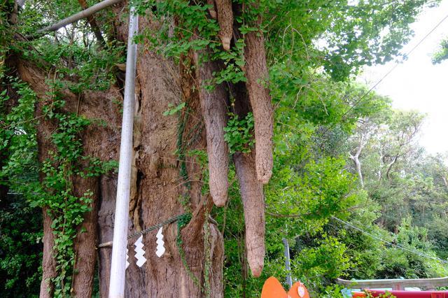 画像: 境内には源頼朝お手植えの銀杏の木があり、樹齢は800年を超えると言われています。