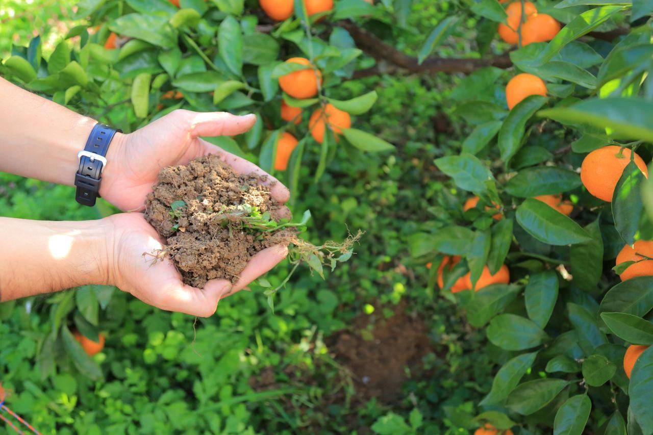 画像2: ふかふかの土で育った、体に優しい低農薬みかん