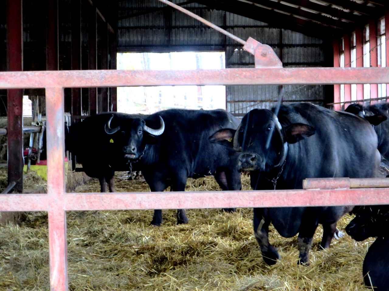 画像: 日本では珍しい地中海水牛もいて、モッツァレラチーズなどを作成している