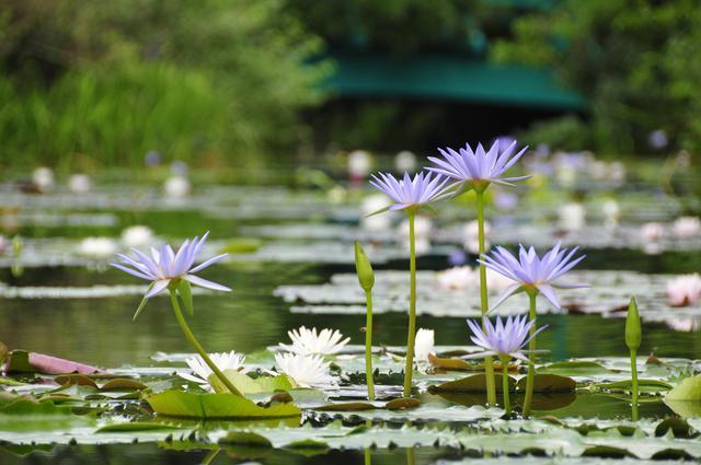画像4: 【高知県】世界的名画の実写版!『北川村「モネの庭」マルモッタン』