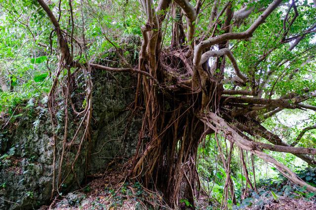 画像: ミホノ御嶽がある山は手つかずの自然。原始的な雰囲気すら漂う神秘的な森でした。沖縄らしい琉球石灰岩とガジュマルの風景。