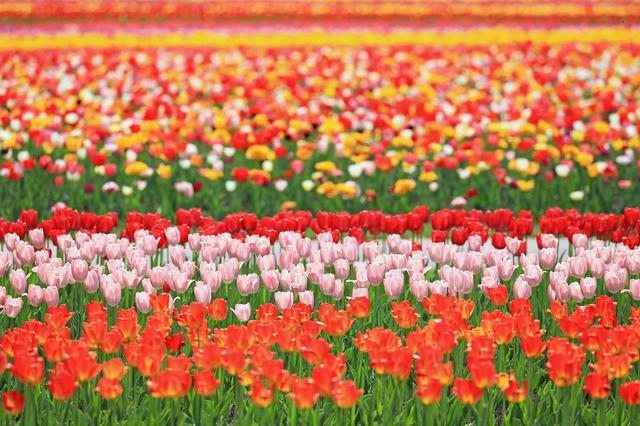 画像2: 【北海道】およそ200品種70万本を植栽。「かみゆうべつチューリップ公園」で絶景と異国情緒を味わう