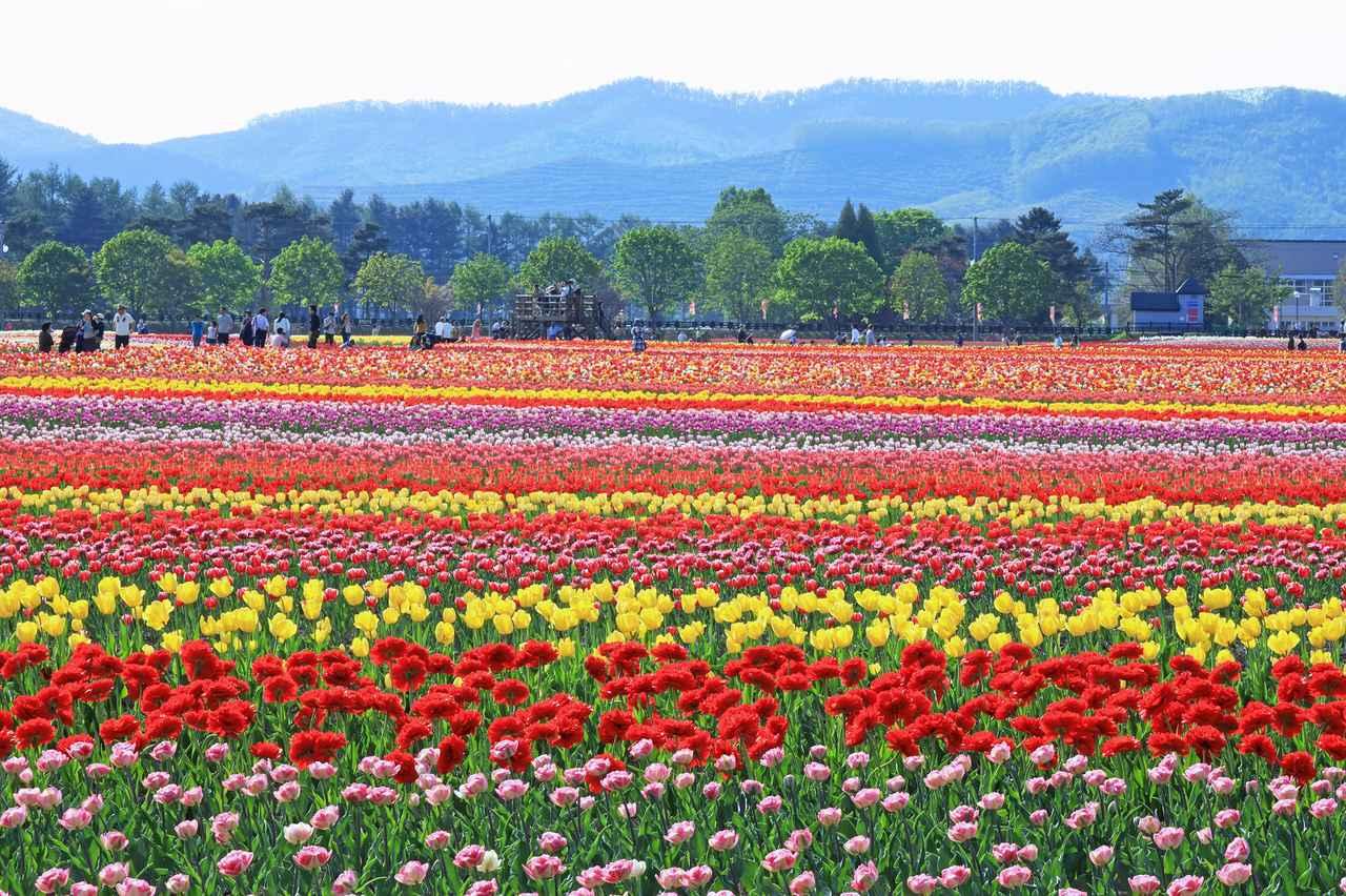 画像4: 【北海道】およそ200品種70万本を植栽。「かみゆうべつチューリップ公園」で絶景と異国情緒を味わう