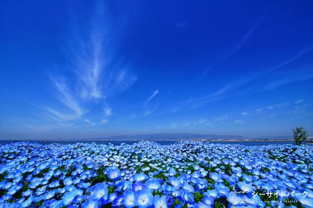 画像2: 【大阪】ネモフィラが作り出す青の世界。「大阪まいしまシーサイドパーク」で映え写真を撮る