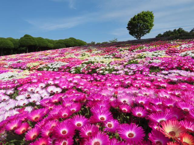 画像1: 【福岡】絶景・癒し・文化体験が勢揃い。「のこのしまアイランドパーク」で春の花に埋もれる