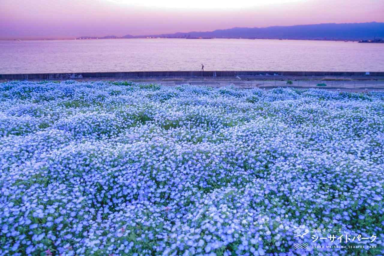 画像4: 【大阪】ネモフィラが作り出す青の世界。「大阪まいしまシーサイドパーク」で映え写真を撮る