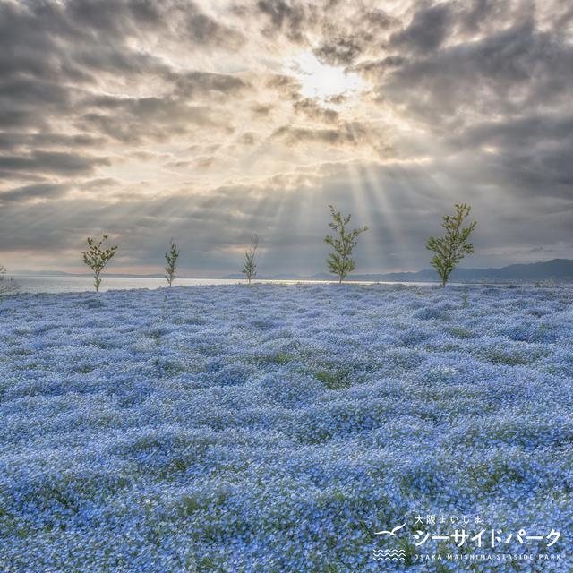 画像5: 【大阪】ネモフィラが作り出す青の世界。「大阪まいしまシーサイドパーク」で映え写真を撮る