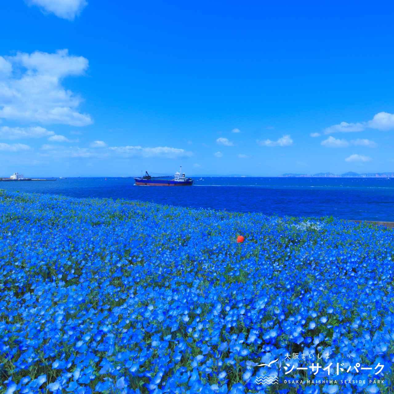 画像1: 【大阪】ネモフィラが作り出す青の世界。「大阪まいしまシーサイドパーク」で映え写真を撮る
