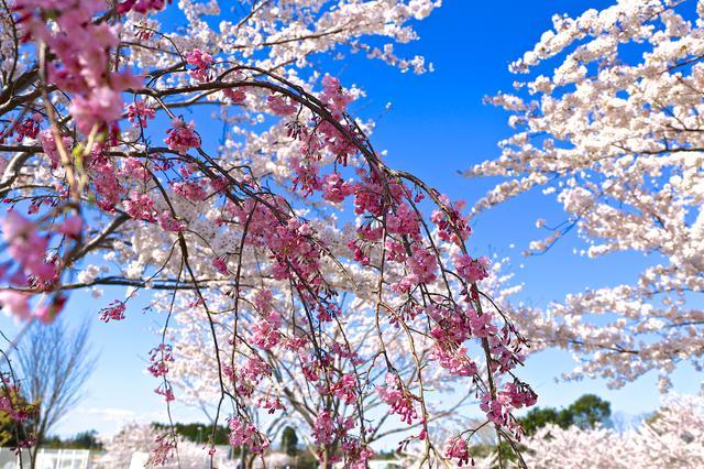 画像: 絶景スポット1「成田空港の桜」