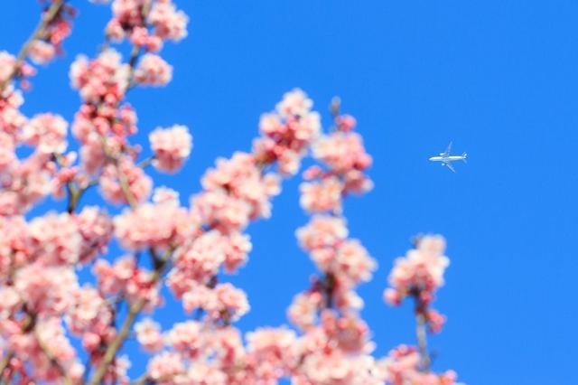 画像1: 絶景スポット2「高松空港のほか、全国のさまざまな空港の桜」